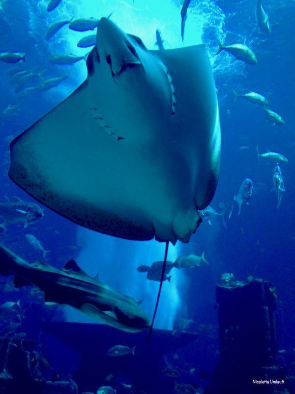 Manta Ray Lost Chamber Aquarium Dubai
